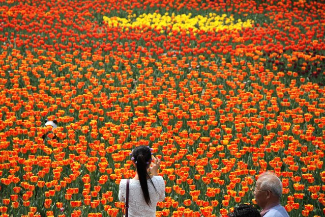 A woman takes a photo of a garden of tulips during the first day of a tulip festival in Binzhou city in eastern China's Shandong Province, Saturday, April 18, 2015. (Photo by Chinatopix Via AP Photo)