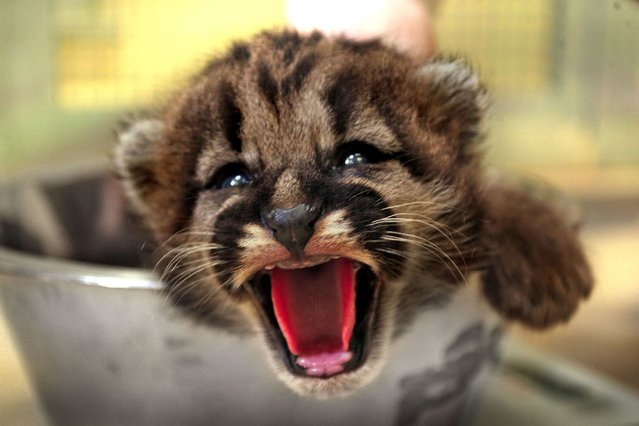 These are the first pictures of the moment an adorable baby cougar opened its eyes for the first time. (Photo by Caters News)