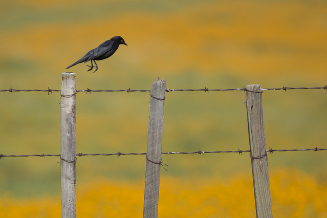 A Brewer's blackbird hops from fencepost to fencepost over a landscape of wildflowers near California State Route 223 on March 4, 2016 west of Tehachapi, California. Despite hopes that the major El Nino effect would bring drought-busting rains to southern California, the storms have been missing the region, delivering only half the rain of a normal year. After a brief period of heavy rain in January, Southern California experienced one of the hottest Februarys ever recorded, prompting early scenic wildflower blooms in several desert and foothill regions. (Photo by David McNew/Getty Images)