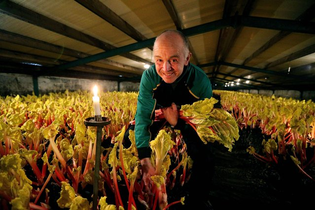 Neil Hulme from E.Oldroyd and Sons Ltd, harvests forced rhubarb by traditional methods using only candle light ahead of the Wakefield Rhubarb Festival this weekend. (Photo by Lynne Cameron/PA Wire)