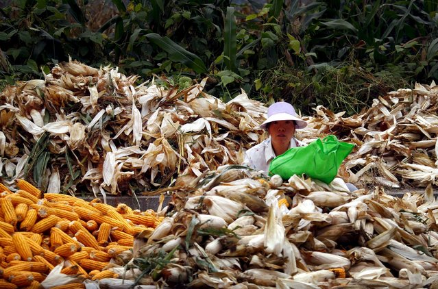 A woman sits between piles of corn as she removes the husks on a road located on the outskirts of Beijing, in this October 16, 2012 file picture. China will give a total of 57.8 billion yuan ($9.32 billion) to grain farmers as part of efforts to deepen rural reform, promote modern agriculture and raise incomes for farmers, state news agency Xinhua said. (Photo by David Gray/Reuters)