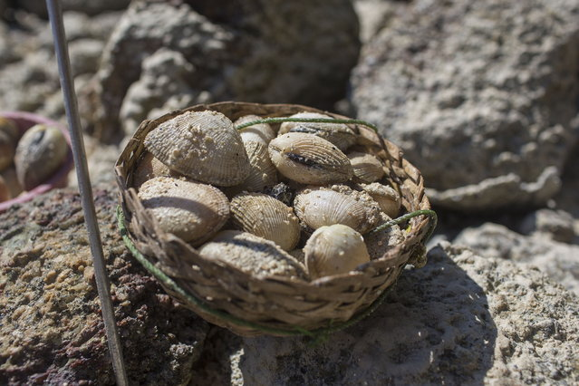 Clams collected on a foraging trip in Ko Surin National Park. March 1, 2013 – Ko Surin, Thailand. (Photo by Taylor Weidman/zReportage via ZUMA Press)