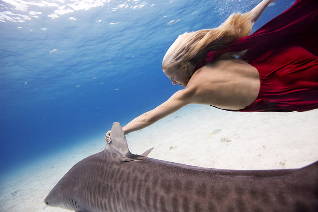Liz swimming with Hammerheads in the Great Bahama. (Photo by Jeremy Farris/Caters News)