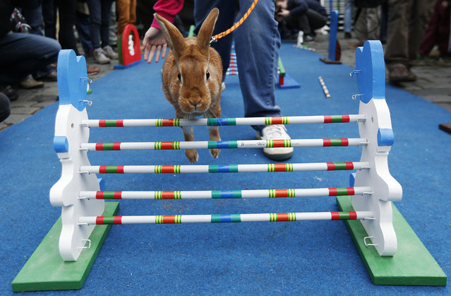 A rabbit leaps over an obstacle during a bunny hop competition at the Old Town Square in Prague, Czech Republic, Monday, April 14, 2014. (Photo by Petr David Josek/AP Photo)