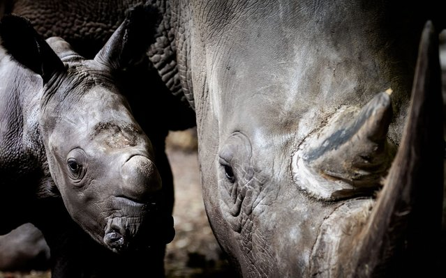A five days old newborn rhinoceros looks and stands by his mother in the Burgers Zoo stable in Arnhem, on August 19, 2019. It is the tenth rhinoceros born thanks to the breeding program of the Arnhem zoo. (Photo by Robin van Lonkhuijsen/ANP/AFP Photo)