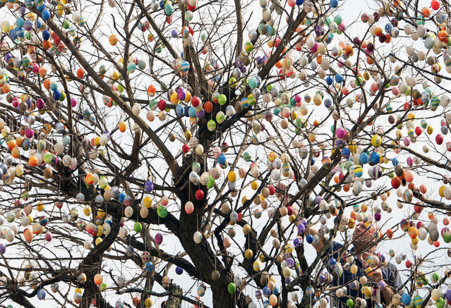 Uwe Gerstenberg decorates a robinia tree with nearly 10,000 painted Easter eggs in Saalfeld, central Germany, Sunday, April 2, 2017. (Photo by Jens Meyer/AP Photo)