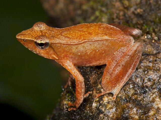 Orange dancing frog discovered by a team headed by University of Delhi professor Sathyabhama Das Biju in the jungle mountains of southern India. (Photo by Satyabhama Das Biju/AP Photo)