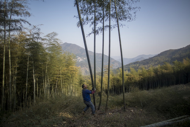 This picture taken on April 12, 2017 shows a man cutting bamboo in a forest near Dashan village near the city of Lin'an, Zhejiang Province. (Photo by Johannes Eisele/AFP Photo)
