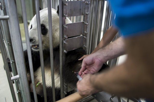 A blood sample is drawn from giant panda Le Le, 10, by a veterinarian during a routine health check at the Hong Kong Ocean Park, China June 30, 2015. (Photo by Tyrone Siu/Reuters)