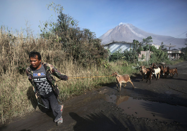 A villager leads his goats as he evacuates his home following the eruption of Mount Sinabung in Gamber village, North Sumatra, Indonesia, Sunday, May 22, 2016. (Photo by Binsar Bakkara/AP Photo)