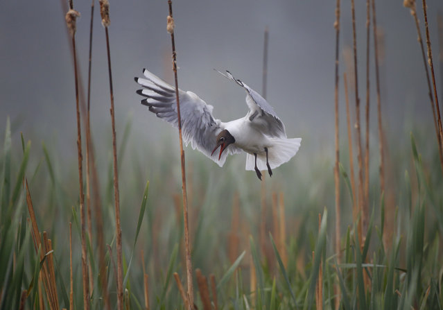 A bird hovers over her nest in the reeds on the lake on a foggy day near the village of Vyazyn, 65 km ( 40 miles ) north of the capital Minsk, Belarus, Wednesday, May 25, 2016. (Photo by Sergei Grits/AP Photo)