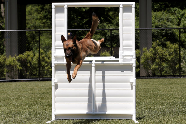 A Metropolitan Transit Authority (MTA) Police K-9 explosive detection dog leaps over an obstacle during agility training at the new MTA Police Department Canine Training Center in Stormville, New York, U.S., June 6, 2016. (Photo by Mike Segar/Reuters)