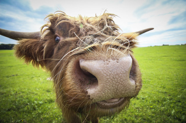 A hungry cow smiles for the camera in Salzburg, Austria. One of a series of funny animal mugshots taken by Chanel Cartell and Stevo Dirnberger during their travels around the globe. (Photo by Chanel Cartell/Stevo Dirnberger/Rex Features/Shutterstock)