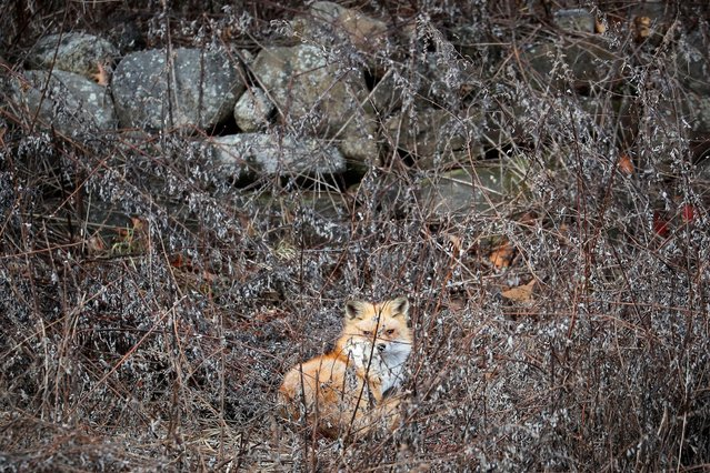 A red fox sits in a field in Hook Mountain State Park above Nyack, New York, U.S. January 5, 2020. (Photo by Mike Segar/Reuters)