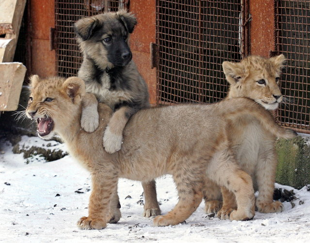 Two lion cubs and a dog play in the courtyard of a domestic house in Kharkov some 450 km (279.4 miles) northeast of Kiev December 15, 2005. (Photo by Gleb Garanich/Reuters)