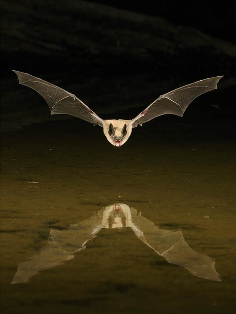 This bat was photographed at an artificial pond in the Arizona desert