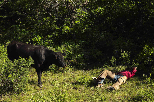 A cow inspects cowboy David Thompson as he rests on the ground near Ignacio, Colorado June 11, 2014. The land where the cattle graze is leased from the Forest Service by third-generation rancher Steve Pargin. Several times a year, he and a crew led by his head cowboy, David Thompson, spend a week or more herding cattle from mountain range to mountain range to prevent them from causing damage to fragile ecosystems by staying in a single area too long. (Photo by Lucas Jackson/Reuters)