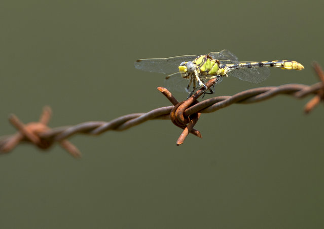 A dragonfly rests on a pointed barb of a barbed-wire fence along the pasture of a ranch near Roseburg, Ore., on August 5, 2012. (Photo by Robin Loznak/Zuma Press)