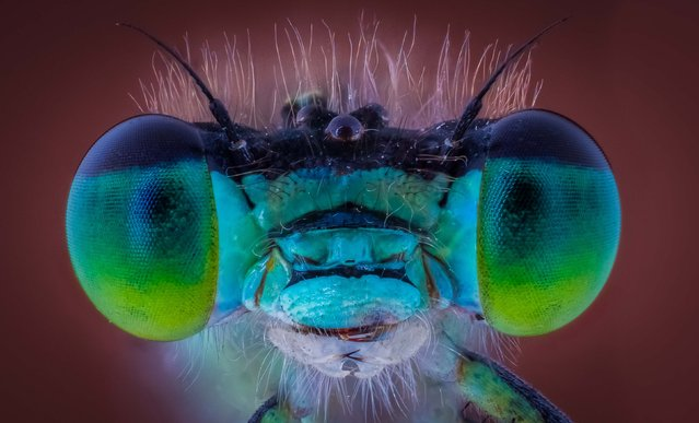 Damsel Fly. (Photo by Kutub Uddin/Caters News)