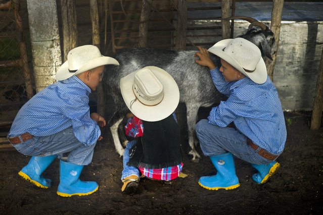 In this July 29, 2016 photo, young cowboys milk a goat at a farm in Sancti Spiritus, central Cuba. A group of neighboring cattle ranchers founded a non-governmental organization called Future Ranchers more than a decade ago to revive Cuba's rodeo culture, which dates back centuries to Spanish colonial times. The group teaches rodeo skills like roping and riding along with more practical education in ranching, veterinary medicine and farming. (Photo by Ramon Espinosa/AP Photo)