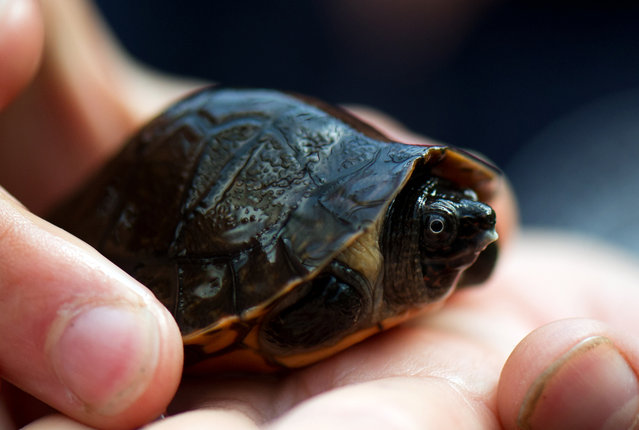 A keeper holds a Bornean river turtle (Orlitia borneensis) as it is presented to the media on September 18, 2012 at the Zoo in Dresden, eastern Germany. The animal hatched from one of nine eggs laid in April 2012. The eggs were put in an incubator, and between mid-August and the beginning of September, baby turtles hatched from all eggs. Eight of the animals survived the first critical days. According to the Zoo, it is the first breed of this turtle species in Germany. (Photo by Arno Burgi/AFP)