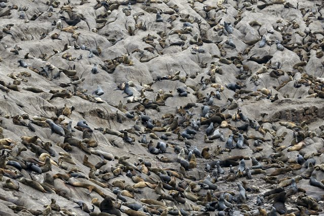 Sea lions rest at the Palomino island in  Callao, Peru, September 12, 2015. (Photo by Mariana Bazo/Reuters)