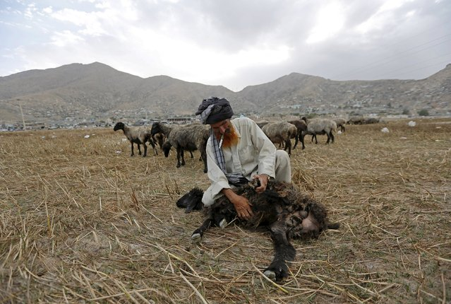 An Afghan shepherd injects his sheep in Kabul, Afghanistan August 16, 2015. (Photo by Mohammad Ismail/Reuters)