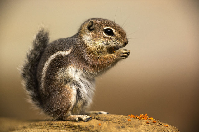 A Harris antelope squirrel eats on September 30, 2014 at the zoo in Rostock, northeastern Germany. (Photo by Jens Buettner/AFP Photo/DPA)