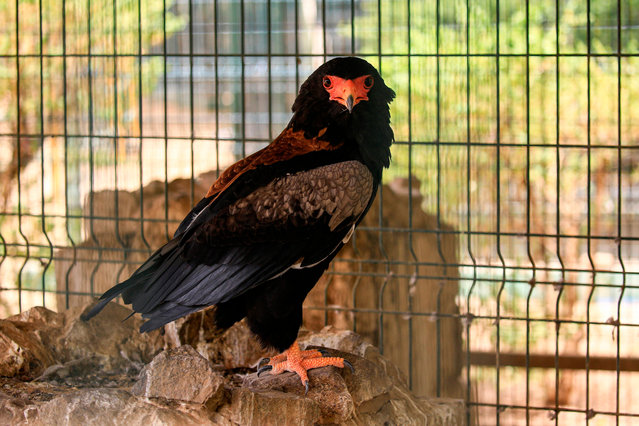 A Bateleur eagle (Terathopius ecaudatus) perches in a cage at a wildlife park in the Khartoum Bahri (North) twin city of the Sudanese capital on June 25, 2020. The park, which has been closed due to the COVID-19 coronavirus pandemic, has experienced the birth of several young animals during the closure. (Photo by Ashraf Shazly/AFP Photo)