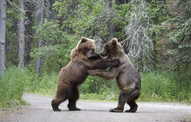 Bears Fighting on Road by Shogo Asao