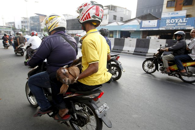 Men drive away with a goat purchased from a makeshift livestock market ahead of the Eid al-Adha festival in Jakarta, Indonesia  September 23, 2015. (Photo by Nyimas Laula/Reuters)