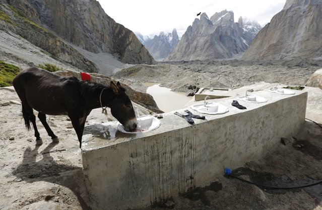 A mule drinks from a basin at a washing place for porters and trekkers at Khoburtse along the K2 base camp trek in the Karakoram mountain range in Pakistan September 1, 2014. A mule can cost between 120,000 and 150,000 Pakistani Rupees (around $1,100 – $1,400) and can earn around $20 per working day for its owner. (Photo by Wolfgang Rattay/Reuters)