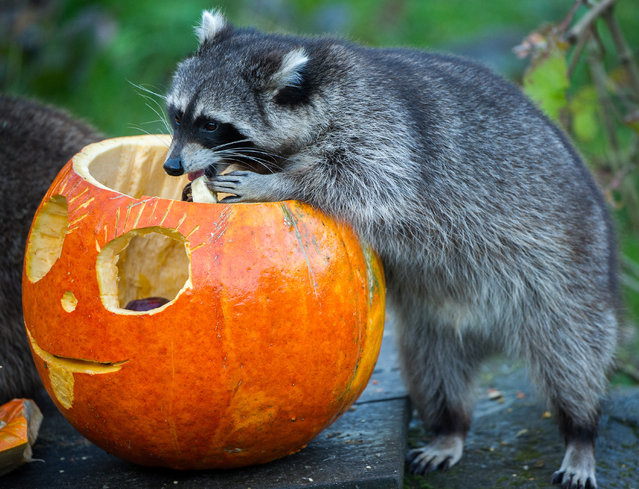 A racoon eats out of a hollowed pumpkin at the zoo in Hanover, Germany, October 23, 2014. (Photo by Ole Spata/EPA)