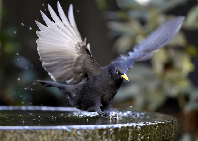 A male blackbird takes a bath in a fountain in Christchurch, New Zealand, Wednesday, April 22, 2020. (Photo by Mark Baker/AP Photo)
