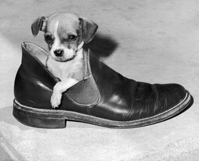 Cohy, a three-month-old Chihuahua, nestles in a slipper-shoe in the home of it's owner Patrick Loebach, in Leonore, Ill., near LaSalle on June 28, 1974. (Photo by AP Photo/RDB)