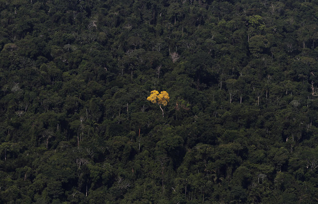 An ipe (lapacho) tree is seen in this aerial view of the Amazon rainforest near the city of Novo Progresso, Para State, Brazil. (Photo by Nacho Doce/Reuters)