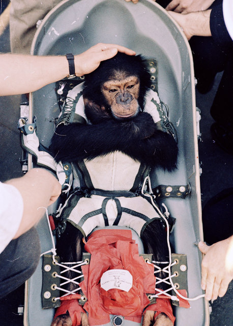 In this January 31, 1961 file photo, Ham, the first higher primate launched into outer space, is comforted by an unidentified man on the deck of a rescue ship after the splashdown in the Atlantic Ocean. Chimpanzees should hardly ever be used for medical research, a prestigious scientific group told the government Thursday – advice that means days in the laboratory may be numbered for humans' closest relatives. The Institute of Medicine stopped short of recommending the outright ban that animal rights activists had pushed. Instead, it urged strict limits that would make invasive experiments with chimps essentially a last resort, saying today's more advanced research tools mean the primates' use only rarely will be necessary enough to outweigh the moral costs. (Photo by AP Photo)