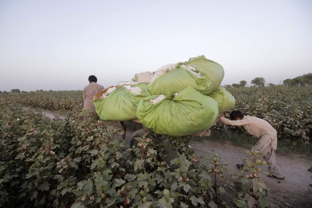 A boy pushes a donkey cart loaded with bundles of cotton blooms that were collected by women cotton pickers in Meeran Pur village, north of Karachi September 25, 2014. Women make up the bulk of Pakistan's half a million cotton producers, but labour rights activists say they are often exploited by overseers, who often withhold their wages and may subject some of them to sexual harassment. (Photo by Akhtar Soomro/Reuters)