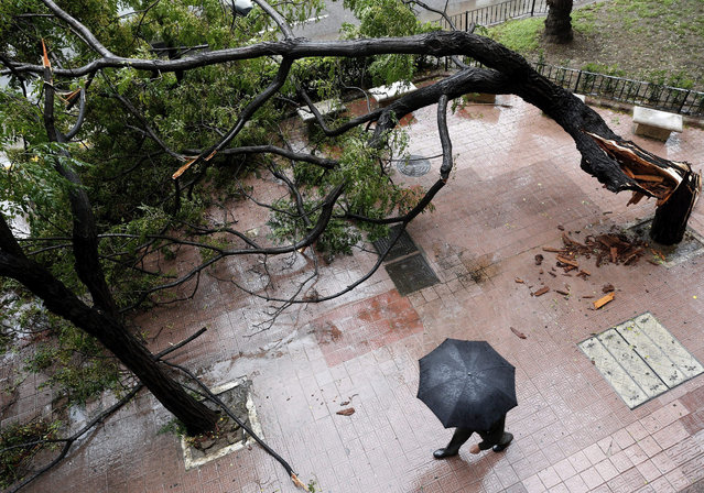 A man walks past a fallen tree due to heavy winds during rain in Valencia, eastern Spain, 02 November 2015. The authorities alerted of heavy rainfalls in eastern country and ports in Valencia and Gandia had to be closed. (Photo by Juan Carlos Cardenas/EPA)