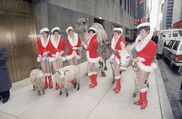 Animals destined for the stage of Radio City Music Hall in New York on November 13, 1986 are led to the stage door by their co-stars, the Rockettes dancers. A variety of animals, including camels, sheep and donkeys, will star in an annual Christmas production. (Photo by G. Paul Burnett/AP Photo)