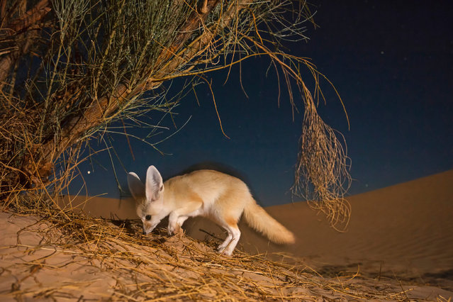 A camera trap reveals a fennec digging for beetles between the roots of a Retam broom shrub. Fennecs often and quickly dig in the soft sand to search for rodents and invertebrates or to find cover. (Photo by Bruno D'Amicis/Fritz Pölking Prize/GDT EWPY 2015)