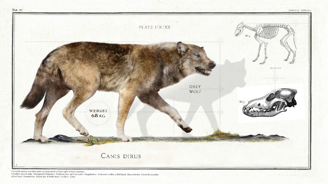 """Canis Dirus translates to """"fearsome dog"""" and the creature is also known as a """"dire wolf"""". It lived in the Late Pleistocene and Early Holocene epochs. (Photo by Sky TV/The Guardian)"""