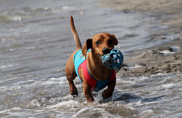 Scrappy, a 4-year-old dachshund, plays ball in the surf. Owned by the Bauer family of Jupiter. Scrappy competed in the small dog division. (Photo by Taylor Jones/The Palm Beach Post)