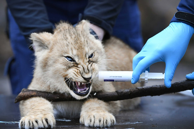One of three lion cubs is vaccinated against cat and sneezing disease in Burgers' Zoo in Arnhem, the Netherlands, 04 February 2021. The triplets were born more than two months ago in the Arnhem zoo. (Photo by Piroschka van de Wouw/EPA/EFE)