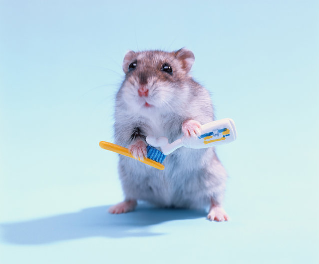 Brush your teeth and get cleaned up for the week ahead! These animals answered the call of good dental hygiene. Here: Hamster holds toothbrush. (Photo by Neo Vision/Getty Images/Amana Images RM)