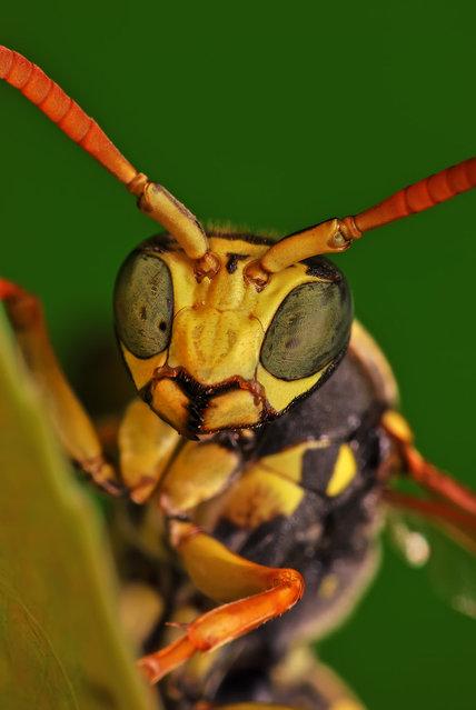 European paper wasp. (Photo by Boris Godfroid)