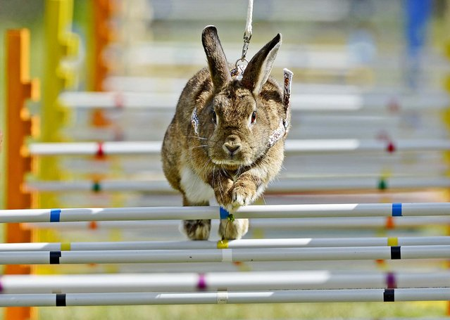 """Rabbit """"Lady Trouble"""" jumps during the Kaninhop competition in Weissenbrunn vorm Wald, Germany, on September 1, 2013. (Photo by Jens Meyer/Associated Press)"""