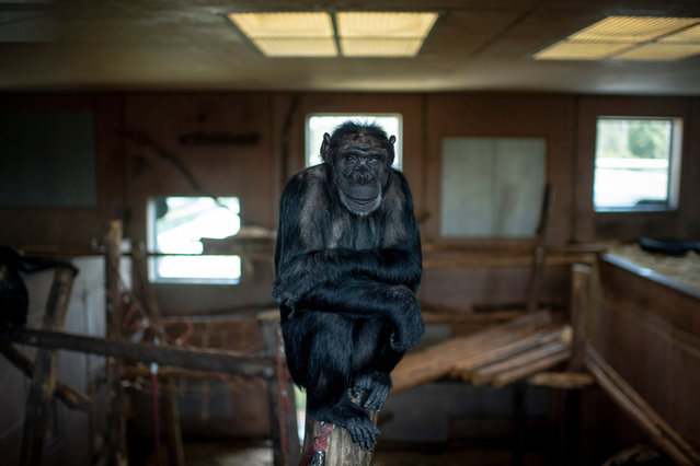 A chimpanzee looks in the direction of a camera at the Gut Aiderbichl Sanctuary for Traumatized Chimpanzees and other Primates in Gaenserndorf, near Vienna, 17 September 2018. 34 former laboratory chimpanzees of former Austrian pharmaceutical company Immuno AG spend their lives at the Gut Aiderbichl Sanctuary for Traumatized Chimpanzees and other Primates since 2009. U.S.-based Baxter International Inc. took over the Immuno AG in 1996, banned experiments with primates and rebuilt a former safari park for the Gut Aiderbichl Sanctuary for Traumatized Chimpanzees and other Primates. After three decades in captivity in too small cages, the chimpanzees, most of them came from Sierra Leone as cubs, have species-appropriate indoor and outdoor enclosures. The financial support by Baxter International Inc. and Austrian officials will end by 2019. (Photo by Christian Bruna/EPA/EFE)