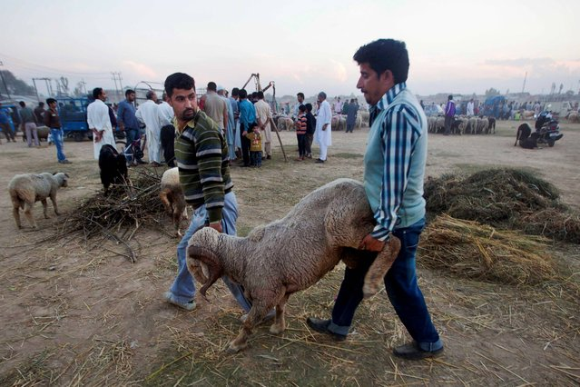 Kashmiri Muslims carry a sheep after buying it from a market ahead of the Muslim festival of Eid al-Adha in Srinagar, India, Friday, October 11, 2013. Eid al-Adha is a religious festival celebrated by Muslims worldwide to commemorate the willingness of Prophet Ibrahim to sacrifice his son as an act of obedience to God. (Photo by Dar Yasin/AP Photo)