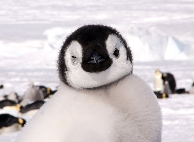 An adorable Emperor penguin chick appears to wink at the camera. Heres the brilliant picture of a cheeky baby penguin playfully winking at a photographer. The adorable snap was taken while a group of mischievous chicks were playing with their parents. Seeing the Emperor penguins was a lifelong dream for photographer, Dafna Ben Nun, 36, from Israel, who couldnt get enough of the curious animals. Dafna took a two day cruise from Argentina in rough seas to reach Antarctica, followed by a helicopter ride before hiking two kilometres to reach the colony. (Photo by Dafna Ben Nun/Caters News)